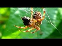 Kruisspin – Araneus diadematus (F1)