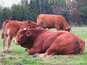 Limousin rund