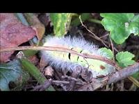 Meriansborstel (rups) – Calliteara pudibunda (F1)