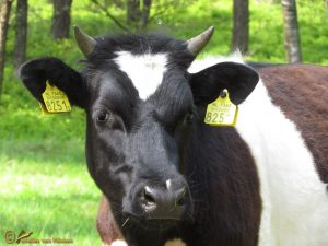 Nederlandse Heide koe