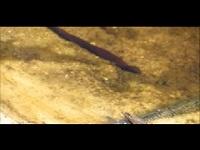Onechte paardenbloedzuiger – Haemopis sanguisuga (F1)
