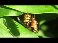 Plooivleugelwesp onbekend – Vespidae indet. (F1)