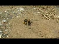 Pluimvoetbij – Dasypoda hirtipes (F1)