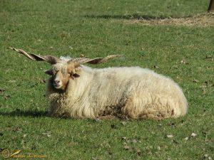 Racka schaap