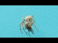 Rietkruisspin - Larinioides cornutus (F1)