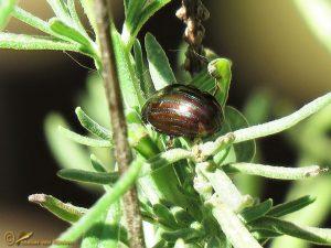 Rozemarijngoudhaan - Chrysolina americana