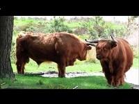 Schotse Hooglander – Bos taurus ss