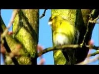 Sijs – Carduelis spinus