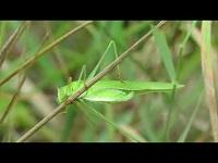 Sikkelsprinkhaan – Phaneroptera falcata (F1)