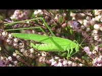Sikkelsprinkhaan - Phaneroptera falcata