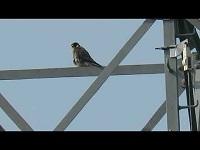 Slechtvalk – Falco peregrinus (F2)