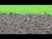 Slechtvalk – Falco peregrinus (F3)