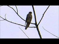 Smelleken – Falco columbarius