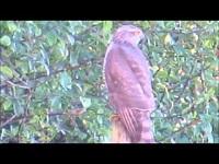 Sperwer – Accipiter nisus
