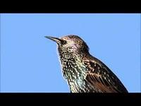 Spreeuw – Sturnus vulgaris