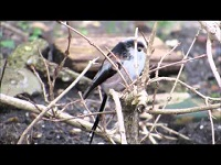Staartmees – Aegithalos caudatus