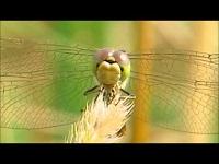 Steenrode heidelibel – Sympetrum vulgatum (F1)