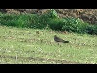 Steppevorkstaartplevier – Glareola nordmanni