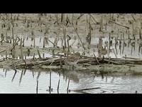 Temmincks Strandloper - Calidris temminckii (F1)