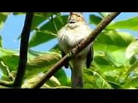 Tjiftjaf – Phylloscopus collybita