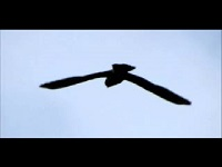 Torenvalk – Falco tinnunculus