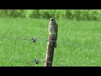 Torenvalk – Falco tinnunculus (F8)