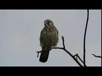 Torenvalk – Falco tinnunculus (F9)