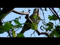 Tuinfluiter – Sylvia borin