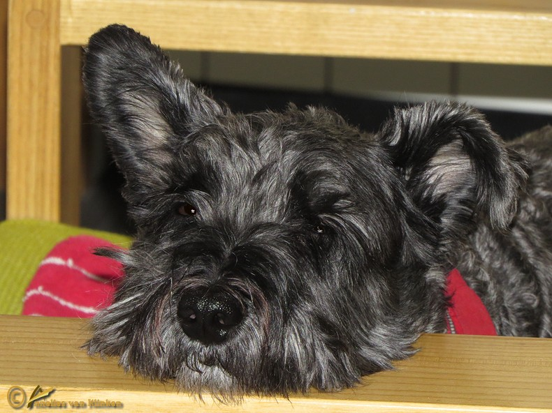 Ulli - X Cairn Terrier