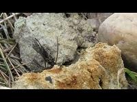 Urntjeswesp – Eumenes pedunculatus (F1)