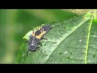 Veelkleurig Aziatisch Lieveheersbeestje – Harmonia axyridis – larve (F1)