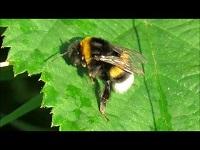Veldhommel – Bombus lucorum (F1)