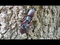 Vliegend hert – Lucanus cervus (F1)