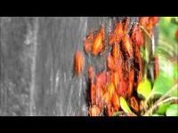 Vuurwants – Pyrrhocoris apterus (F1)