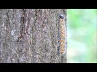 Wapendrager (rups) – Phalera bucephala (F1)