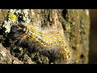 Wapendrager (rups) – Phalera bucephala (F2)