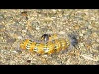 Wapendrager (rups) – Phalera bucephala (F3)