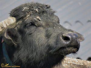 Waterbuffel - Bubalus bubalis