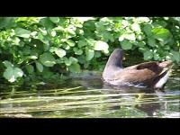Waterhoen – Gallinula chloropus