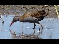 Waterral – Rallus aquaticus