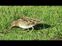 Watersnip – Gallinago gallinago