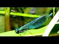 Weidebeekjuffer – Calopteryx splendens (F1)