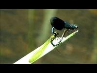 Weidebeekjuffer – Calopteryx splendens (F2)