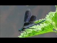 Weidebeekjuffer – Calopteryx splendens (F3)