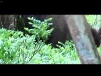 Wild Zwijn – Sus scrofa (F1)