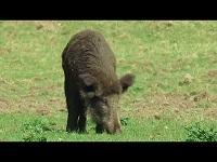 Wild Zwijn – Sus scrofa (F10)