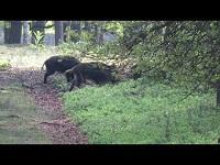 Wild Zwijn – Sus scrofa (F11)