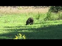 Wild Zwijn – Sus scrofa (F12)