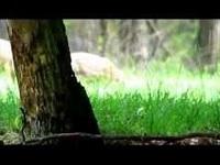 Wild Zwijn – Sus scrofa (F2)