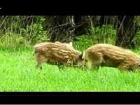 Wild Zwijn – Sus scrofa (F3)